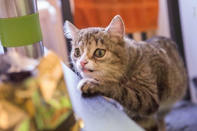 Новосибирскому коту Гоше ищут хозяина