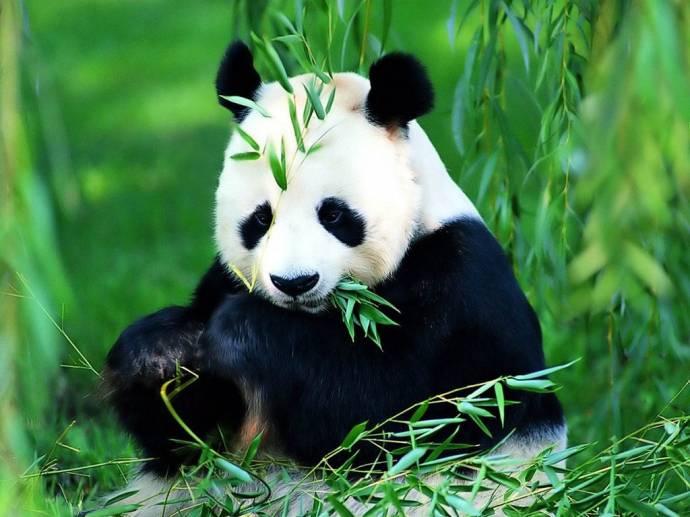 Ученые узнали как панды выживают на скудной бамбуковой диете