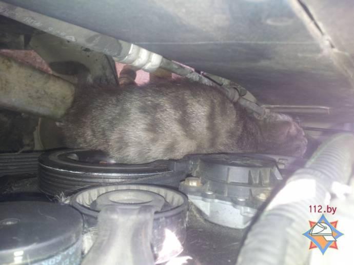 В Минске спасли кота, попавшего в моторный отсек автомобиля
