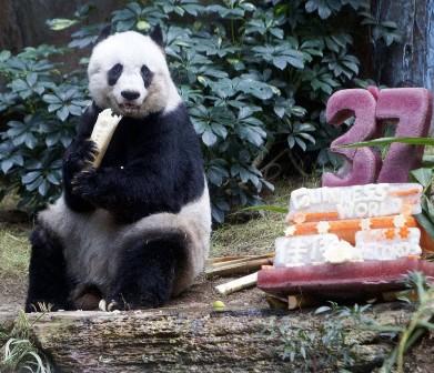 Самая старая панда в мире отметила 37-летие
