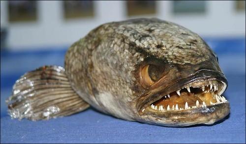 Пугающая всех рыба змееголов