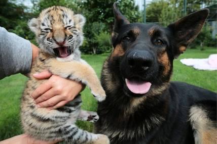 В зоопарке Словакии тигренка выращивают собаки