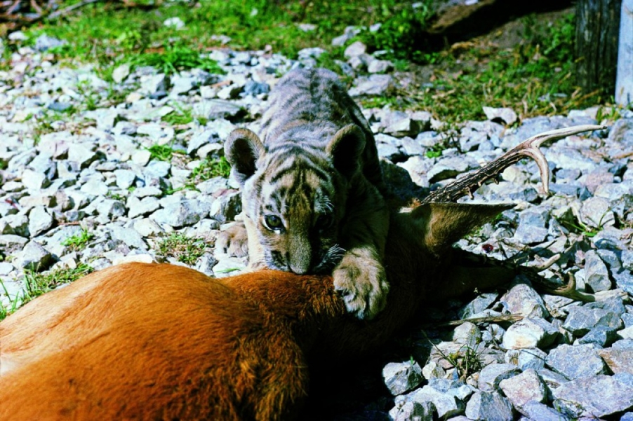 Фото тигра с тигрятами 4