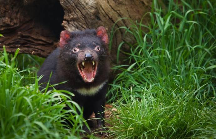 Заселение Австралии тасманийскими дьяволами поможет оздоровить ее экосистему