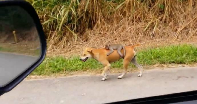 В Малайзии собака возит на своей спине обезьянку