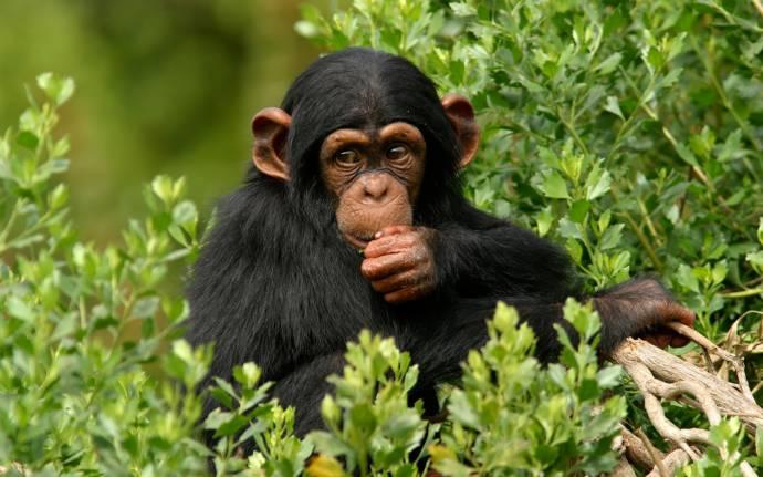 Шимпанзе используют глину для очищения организма