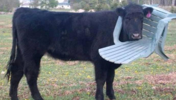 Пожарные спасли корову, застрявшую в пластиковом стуле