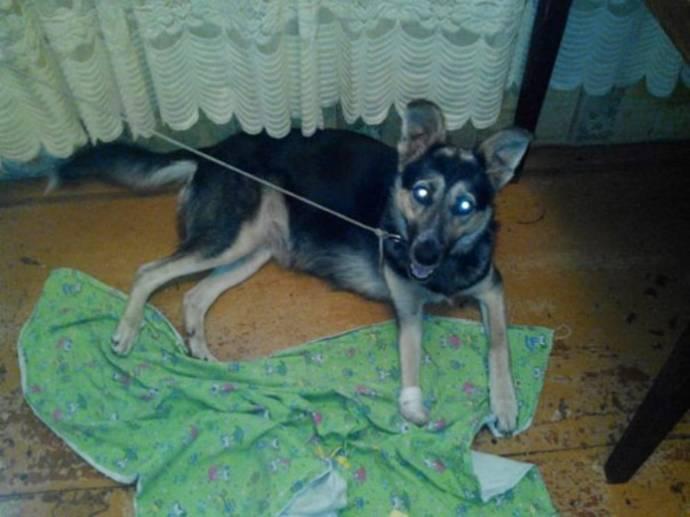 В Магнитогорске для бездомного пса создали 3D-протез