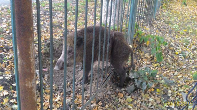 В Саранске спасли кабана, застрявшего в школьном заборе