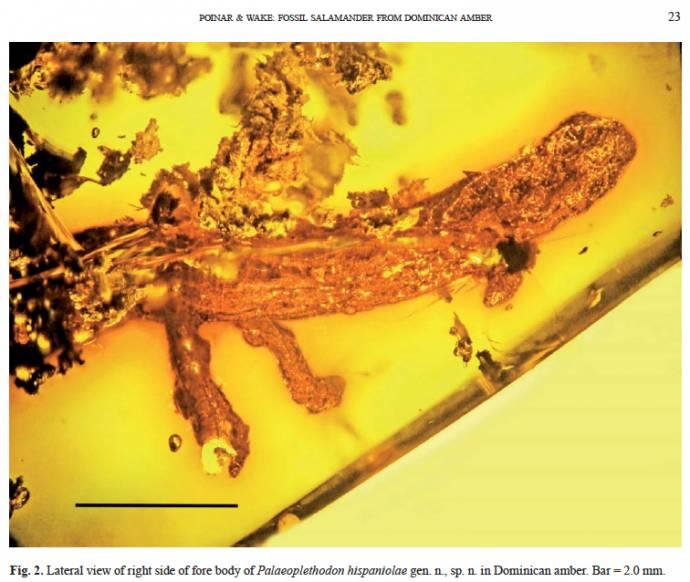 Древнюю саламандру впервые нашли в янтаре