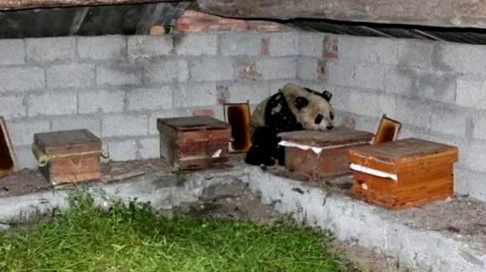 Дикая панда залезла на пасеку и наелась меду до отвала