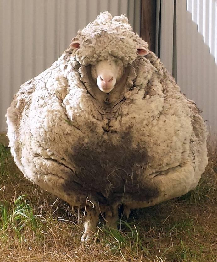 С барашка Криса состригли 40 килограммов шерсти