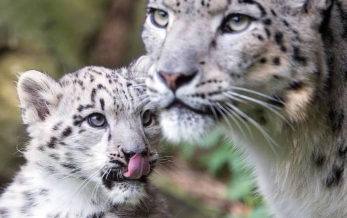 Детеныш снежного леопарда подрастает в зоопарке Кёльна