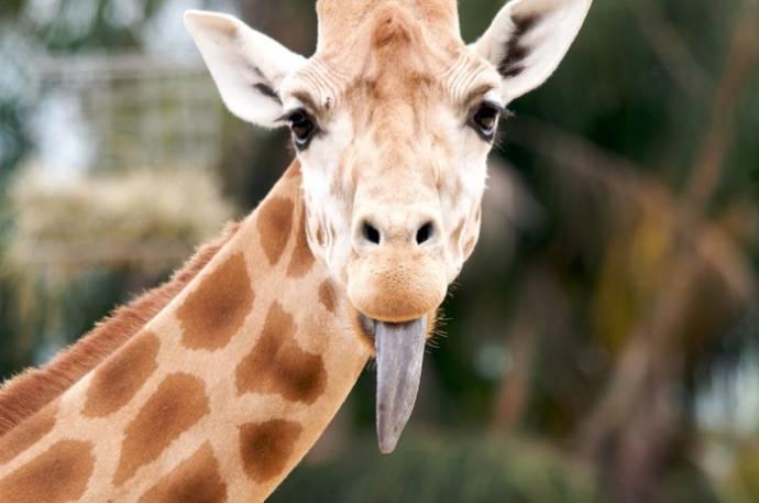 Жирафы, оказывается, могут издавать звуки и умеют плавать
