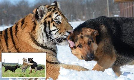 В словацком парке тигры и овчарки играют друг с другом