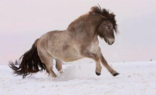 Ученые выяснили, как якутские лошади выживают в 70-градусные морозы