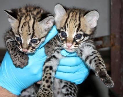 В зоопарке Южной Каролины впервые родились детеныши оцелота
