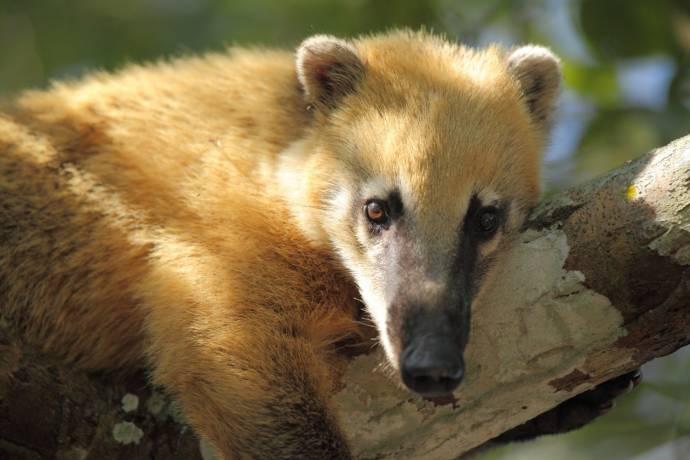 Чистоплотные и покладистые животные - Коати
