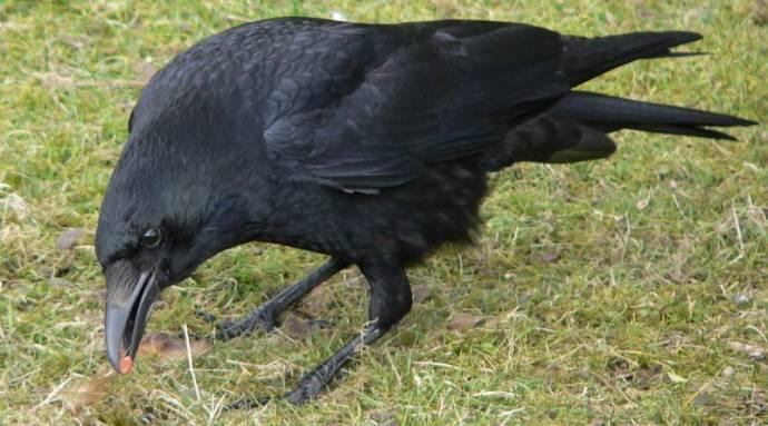 Вороны оплакивают своих мертвых и помнят обидчиков годами
