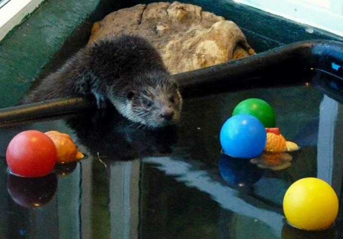 Самец выдры Лютер обжился в Челябинском зоопарке