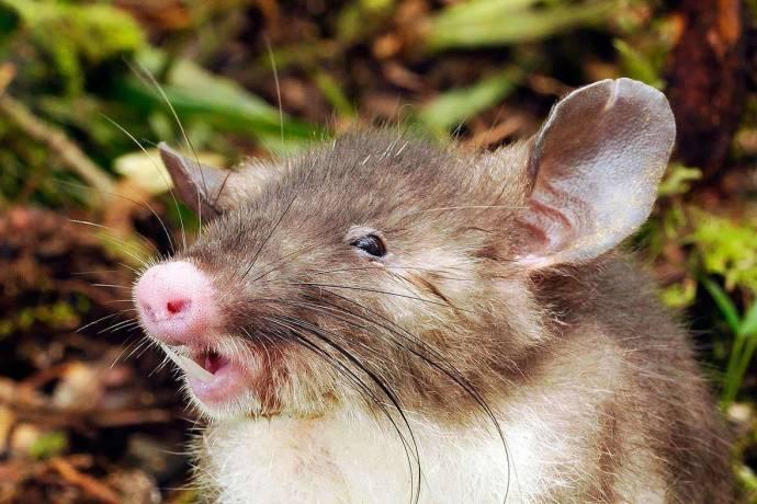 На индонезийском острове нашли новый вид крыс