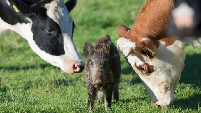 В Германии кабанёнок поселился в стаде коров