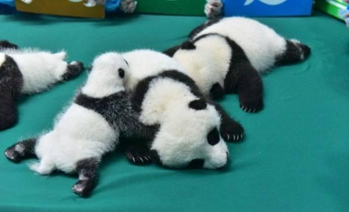 В Китае впервые показали 13 малышей панд, рожденных в этом году