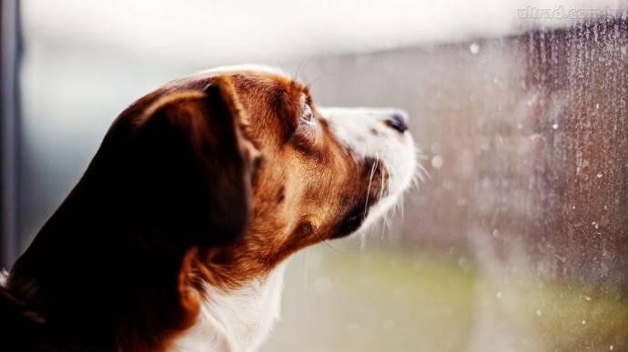 Собаки телепатически могут чувствовать возвращение хозяев?