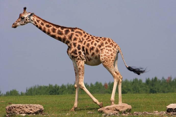 Как жирафы обрели длинную шею?