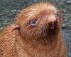 Тюлененок с редким рыжим окрасом на Тюленем острове