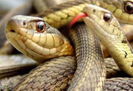 Ученые объяснили отсутствие конечностей у змей