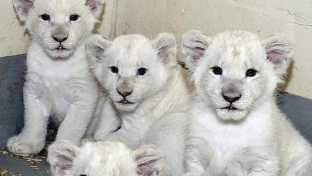 В зоопарке Торонто показали белых львят