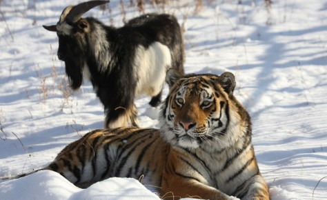 Приморский зоопарк решает проблему ночевки подружившихся тигра и козла