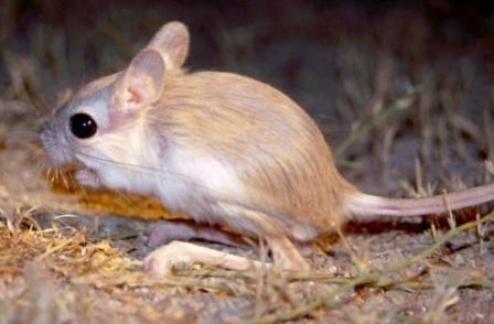 Тушканчик - кенгуру в миниатюре