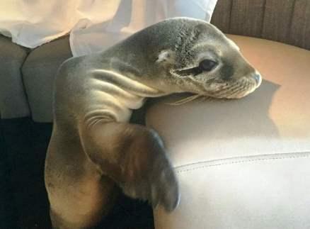 В США лечат детеныша тюленя, залезшего в дорогой ресторан