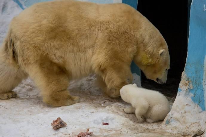 видео белого медведя в новосибирске