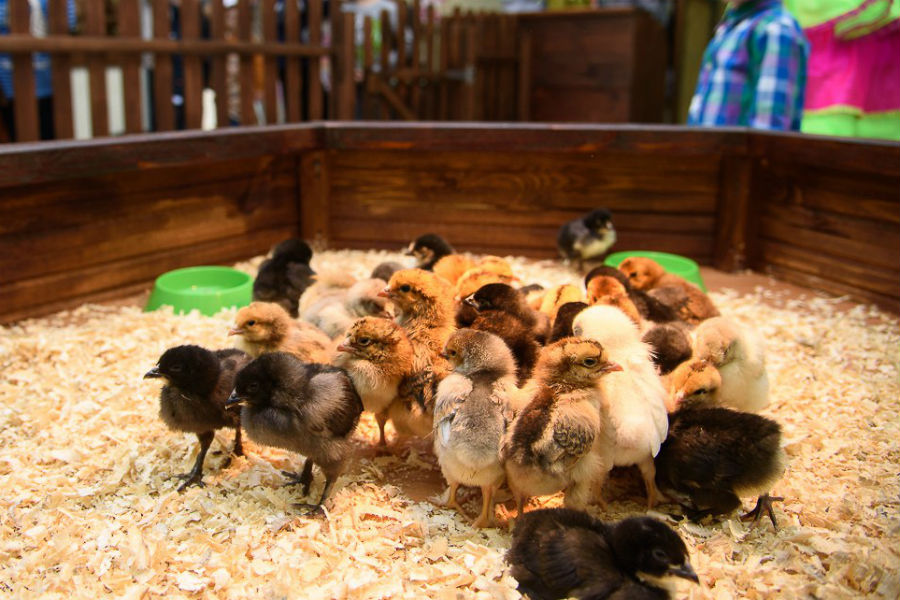 курицы омска девушки фото