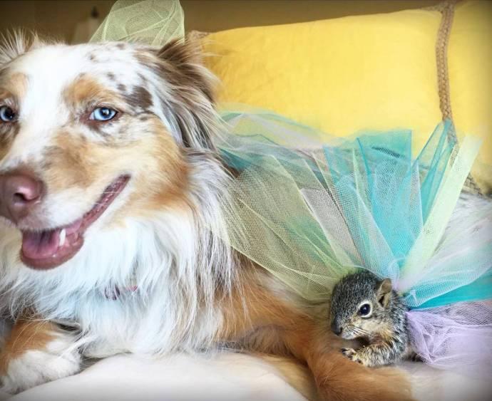 Калли и Стюарт, австралийская овчарка и белка — лучшие друзья!