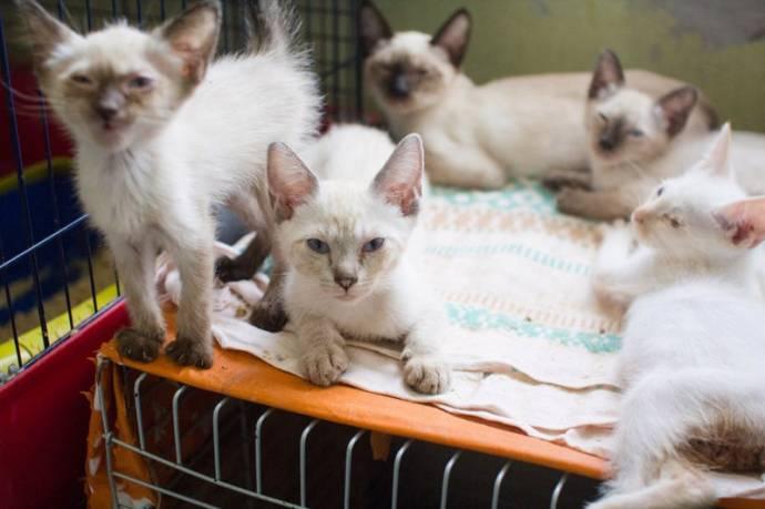 Волонтеры спасли 50 тайских кошек, которых заводчица бросила на погибель