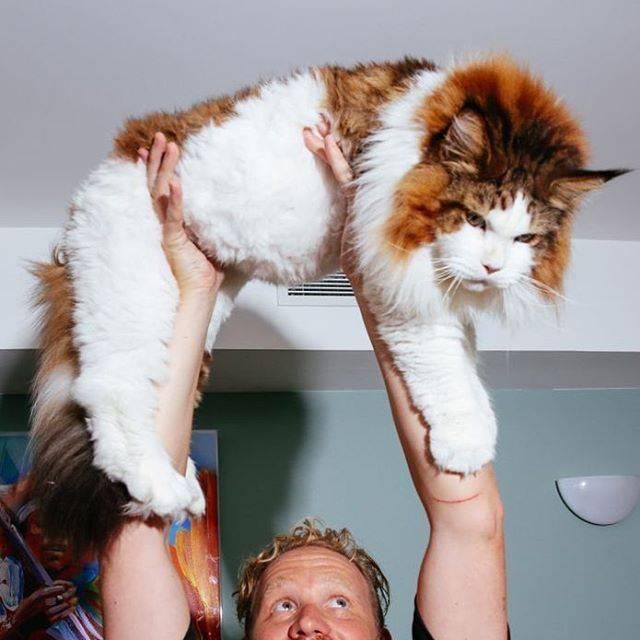 кот большой мейн кун фото