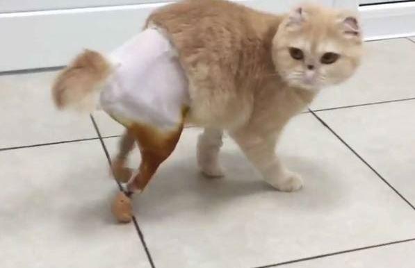 Картинки по запросу В новосибирской ветклинике сделали уникальные протезы для кошки