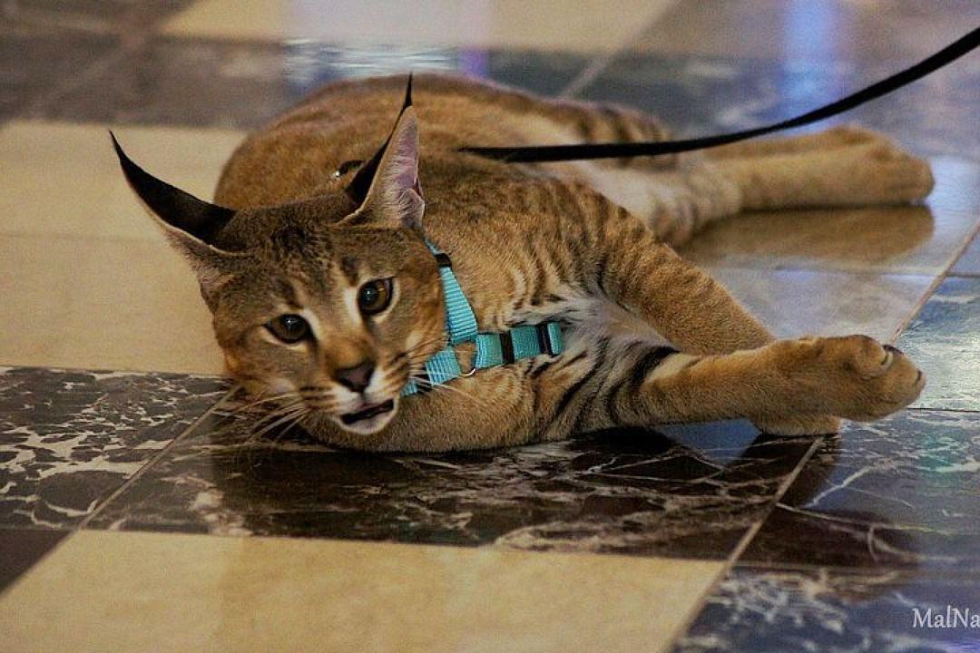 Самая дорогая кошка Санкт-Петербурга стоит, как квартира