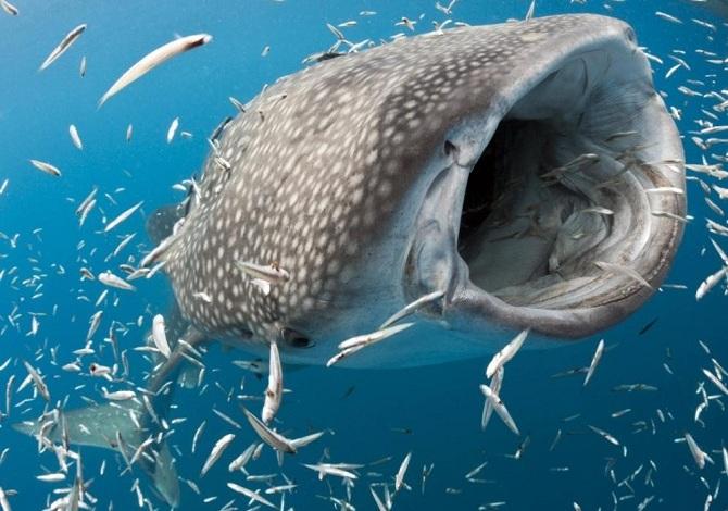 ловля китовых акул