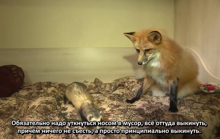 Рысь, енот, лис и другие: эксперты рассказали о содержании диких животных дома