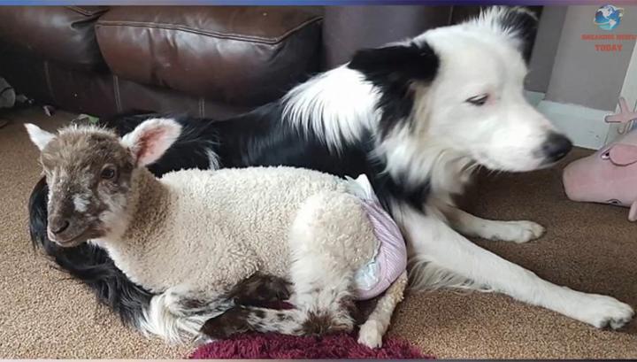 Пес и ягненок сдружились в приюте и... вместе оттуда сбежали