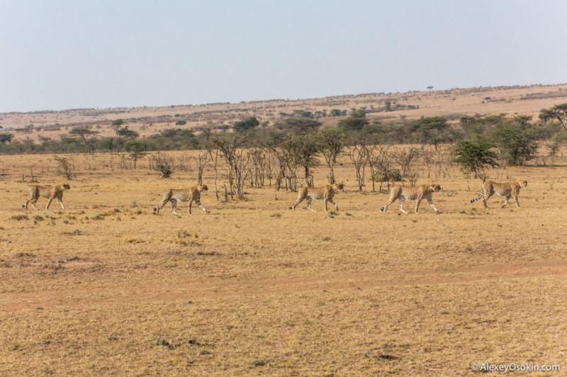 Жил-был гепард... Трагическая история со счастливым концом