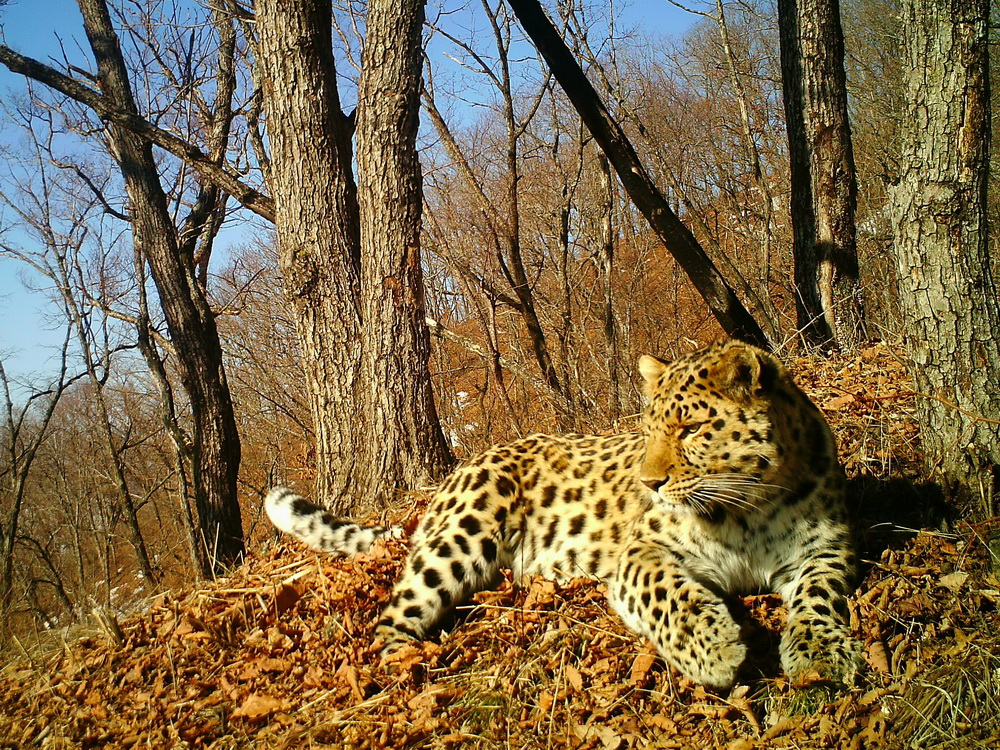 amur or the far eastern leopard world s The amur leopard is mainly found in the southeast russia and northeast china it is not only the rarest of all leopards—the amur leopard is the world's most endangered cat they are also called far eastern leopard let's discover some of the most amazing amur leopard facts for kids.