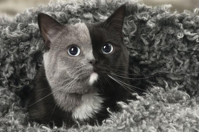 Интернет удивила черно-серая кошка-химера