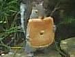 Жадную белочку поймали за кражей большого куска хлеба