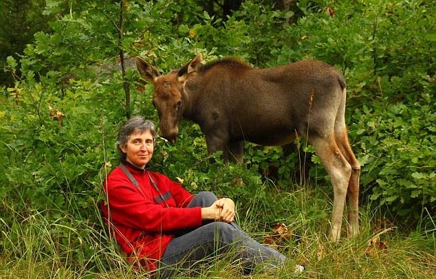 В Национальном парке Латвии смотрительница выходила лосёнка